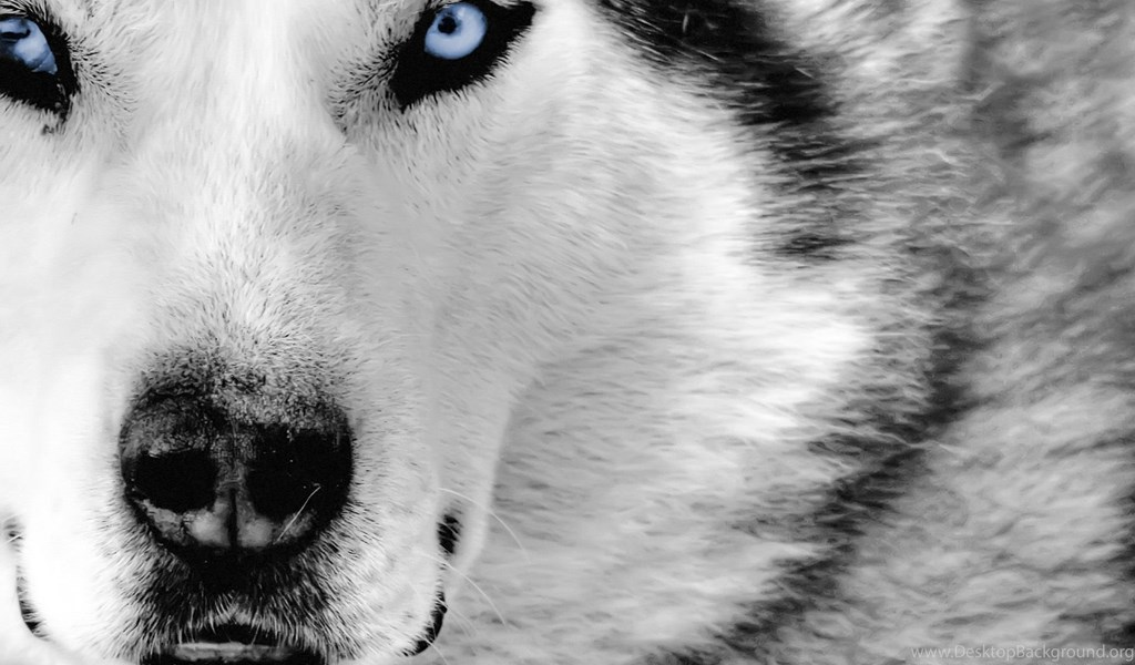 Wolf Wallpapers Hd 167709 Desktop Background