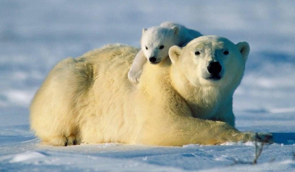 Polar Bear Wallpapers Desktop Background