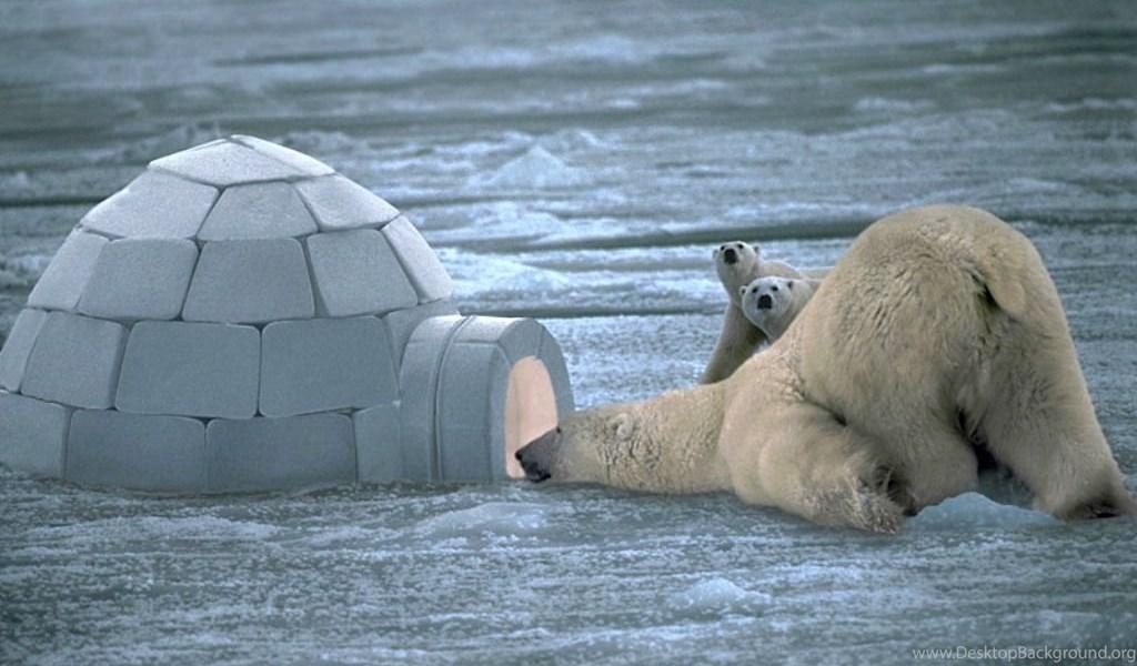 Polar Bear Wallpapers Hd Desktop Background