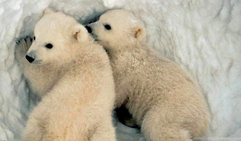 Baby Polar Bear Wallpapers Desktop Background