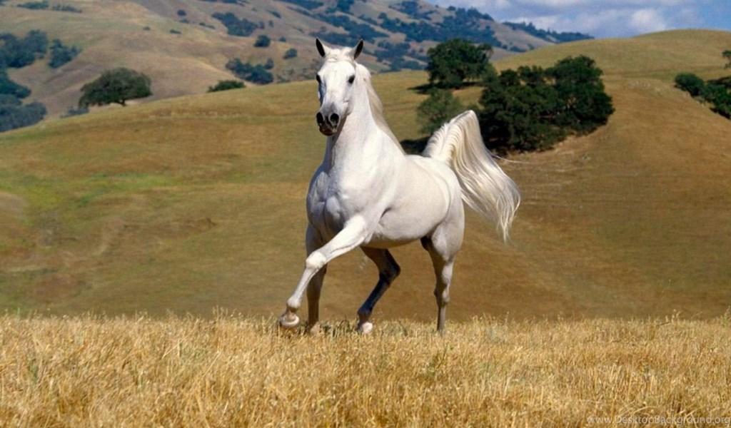 White Horse Hd Pc Wallpapers 7 Jpg Desktop Background