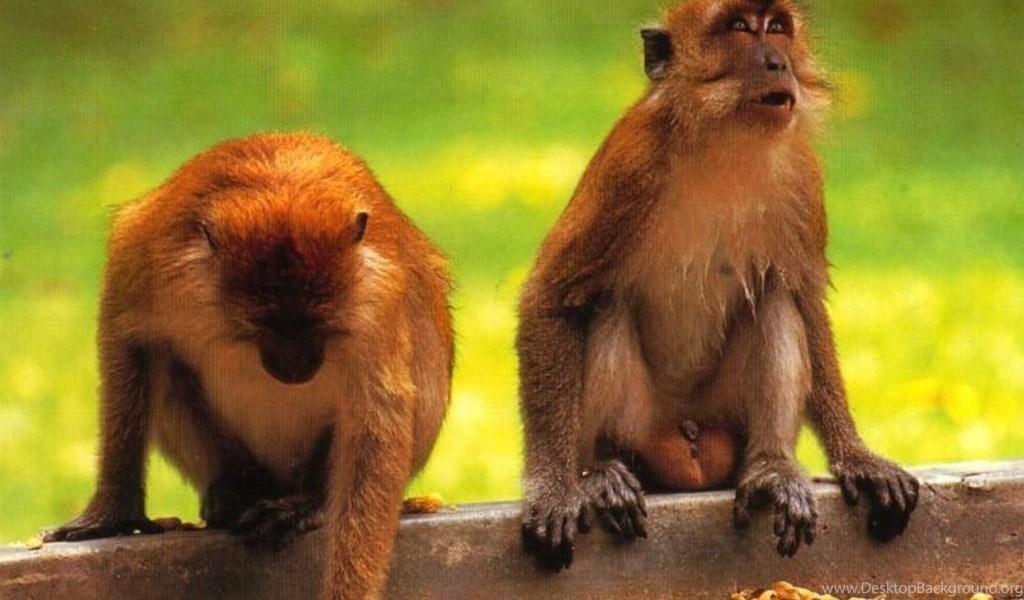 Cute Baby Monkey Psp Wallpapers Animal Backgrounds Desktop Background