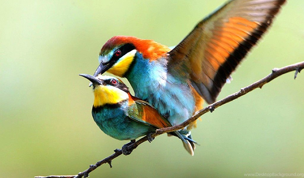 Cute Love Birds Hd Wallpapers Bird Wallpapers Lovers 1024x768px Desktop Background