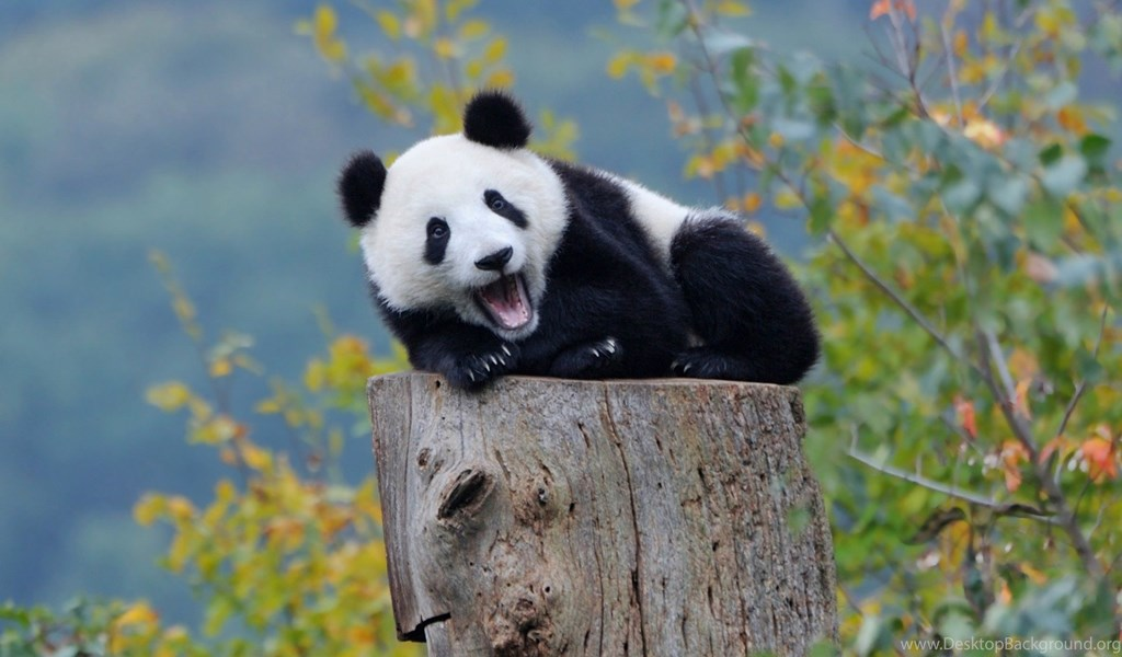 Animal Wallpaper Baby Panda Wallpapers Wide HD Quality Resolution