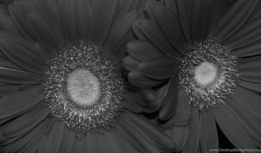 Flowers black and white red sunflower wallpaper black and white playstation 960x544 voltagebd Image collections