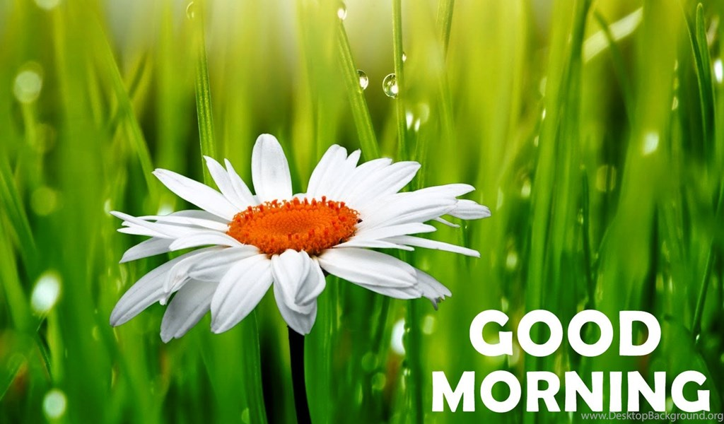 Good Morning Daisy Flower Hd Wallpapers Desktop Background