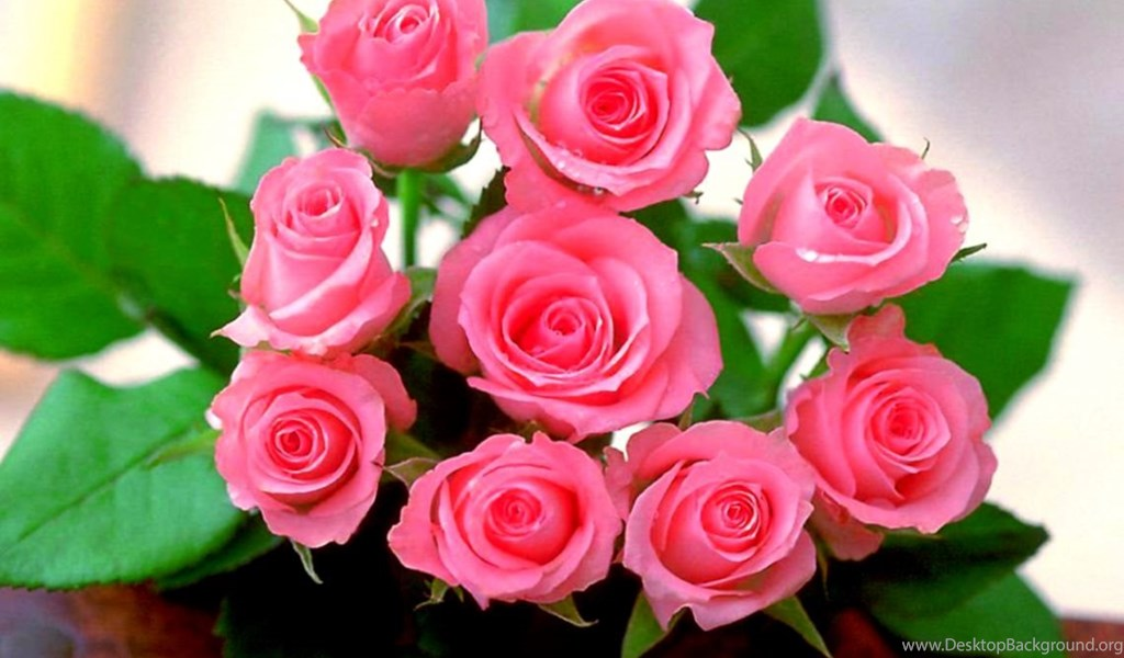 pink rose flowers wallpapers free download for mobiles