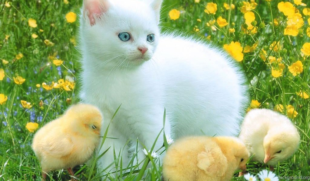 Images For Beautiful White Cute Cat Pictures Photos Wallpapers Desktop Background