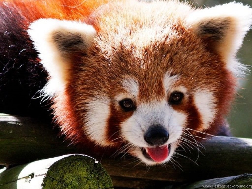 red panda iphone wallpapers wallpaper desktop background