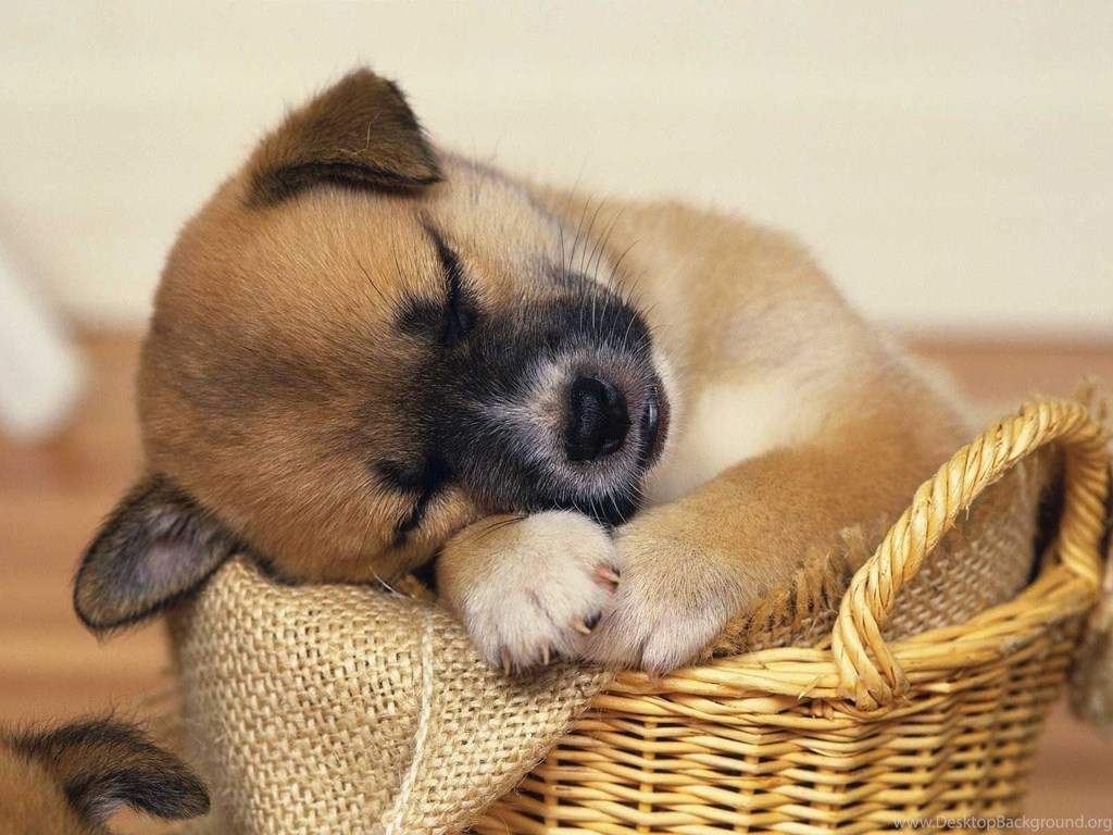 Super Cute Baby Puppies Sleeping Wallpaper Desktop Background