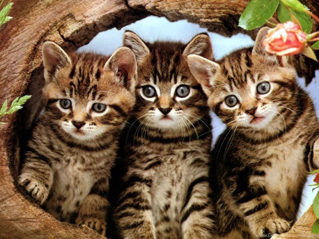 Cute Cartoon Cat Wallpapers Three Cute Kittens Your Hd Wallpapers Desktop Background