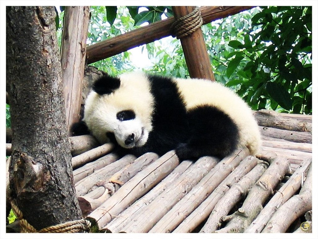Cute Pictures Of Baby Pandas Hd Wallpapers And Pictures Desktop Background