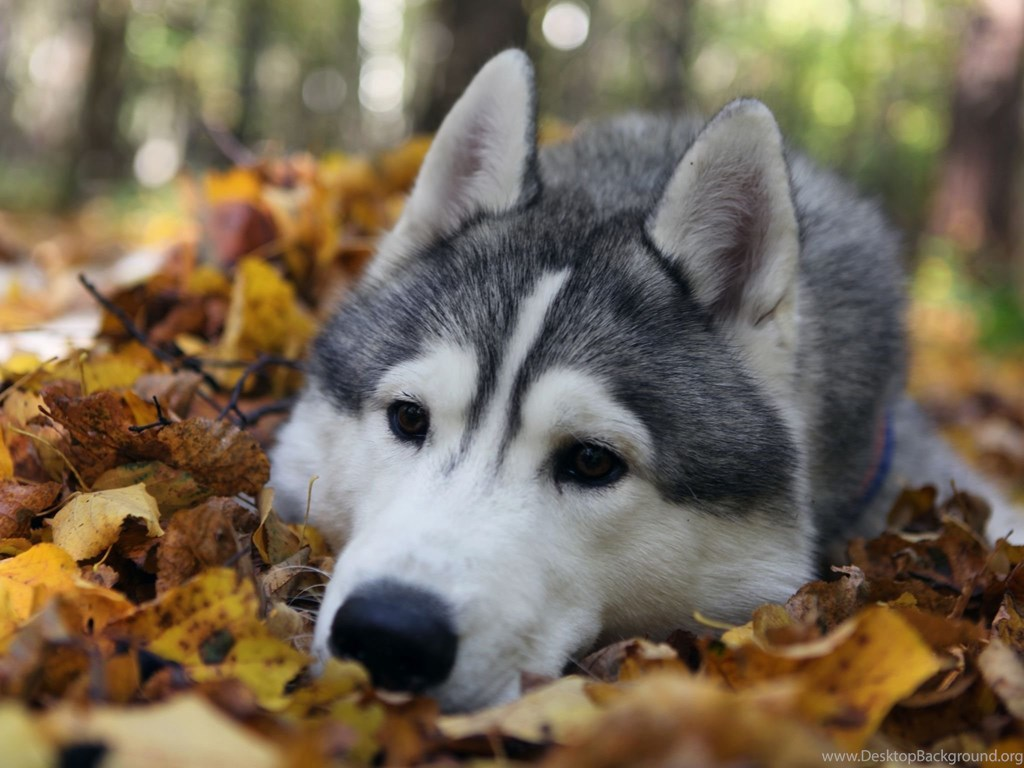 Cute Husky Wallpaper Cute Face Siberian Husky Dog Wallpaper Background Jpg Desktop Background