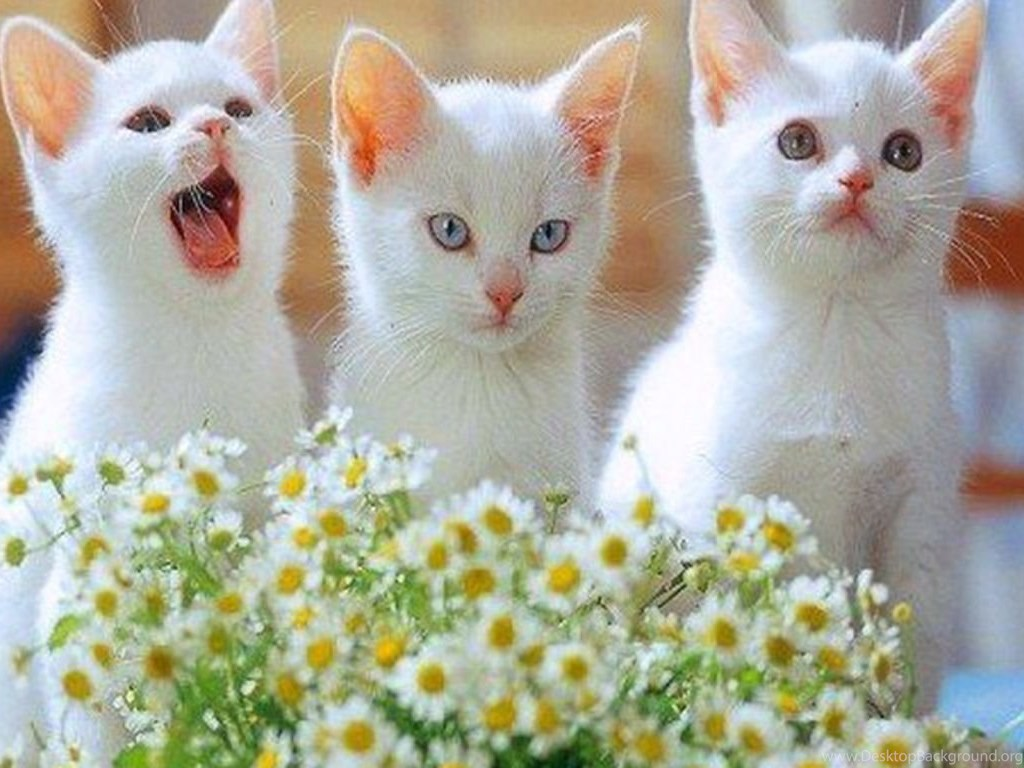 16 White Kittens Wallpapers Wallpapers Cute Cats And ...