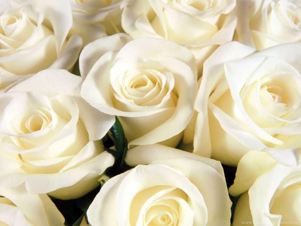 Beautiful White Rose Wallpapers HD 3F5 Desktop Background