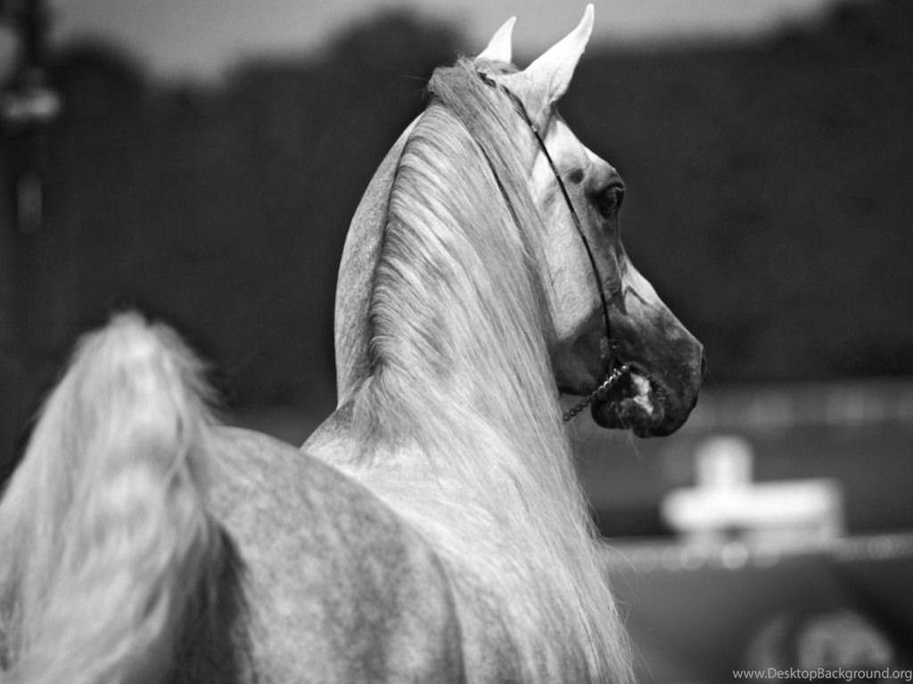 Justpict Com White Arabian Horse Wallpapers Desktop Background