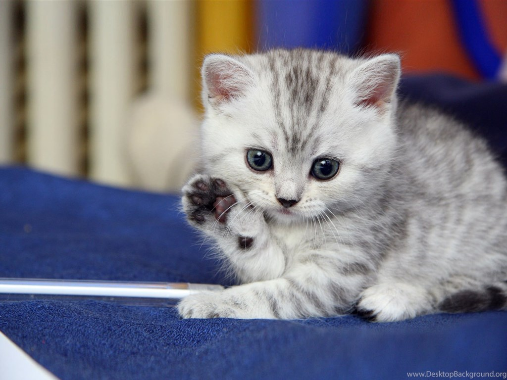 Cute Kitty Wallpapers Cats Zone Desktop Background