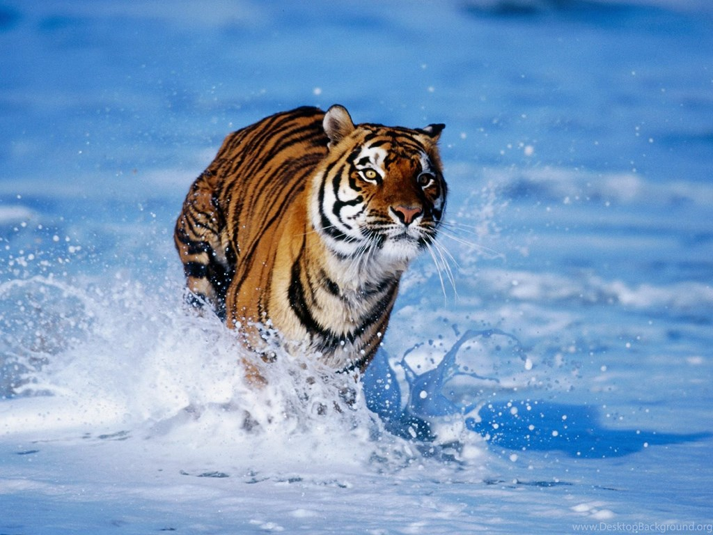 Animals Wallpapers Tiger Cool Hd Wallpapers For Desktop Desktop Background