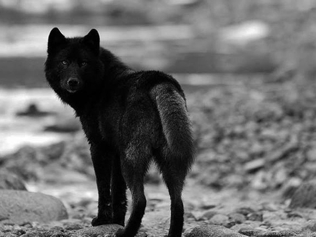 black wolf wallpapers images photos pictures amp pics