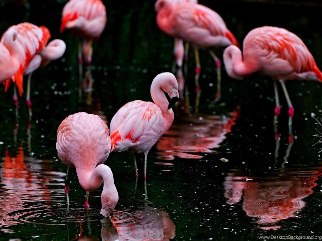 Flamingos wallpaper hd