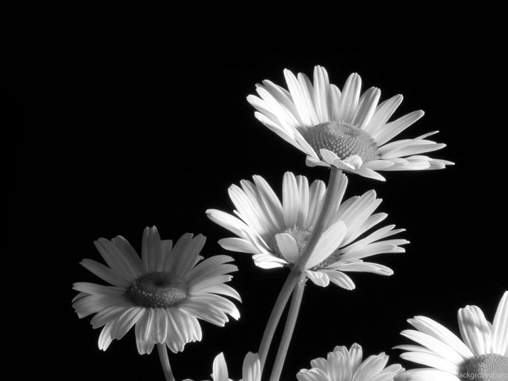 Black And White Flower Wallpapers Walldevil Best Free Hd