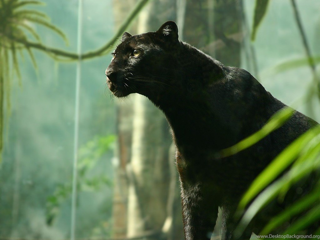 Black Panther Cat Cats Desktop Background Images Cats For Hd 16 Desktop Background