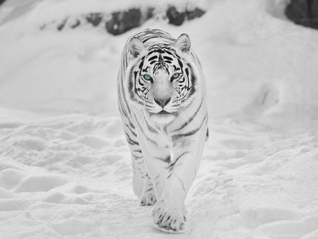 Animal Wallpaper Black And White Tiger Wallpapers Iphone Hd