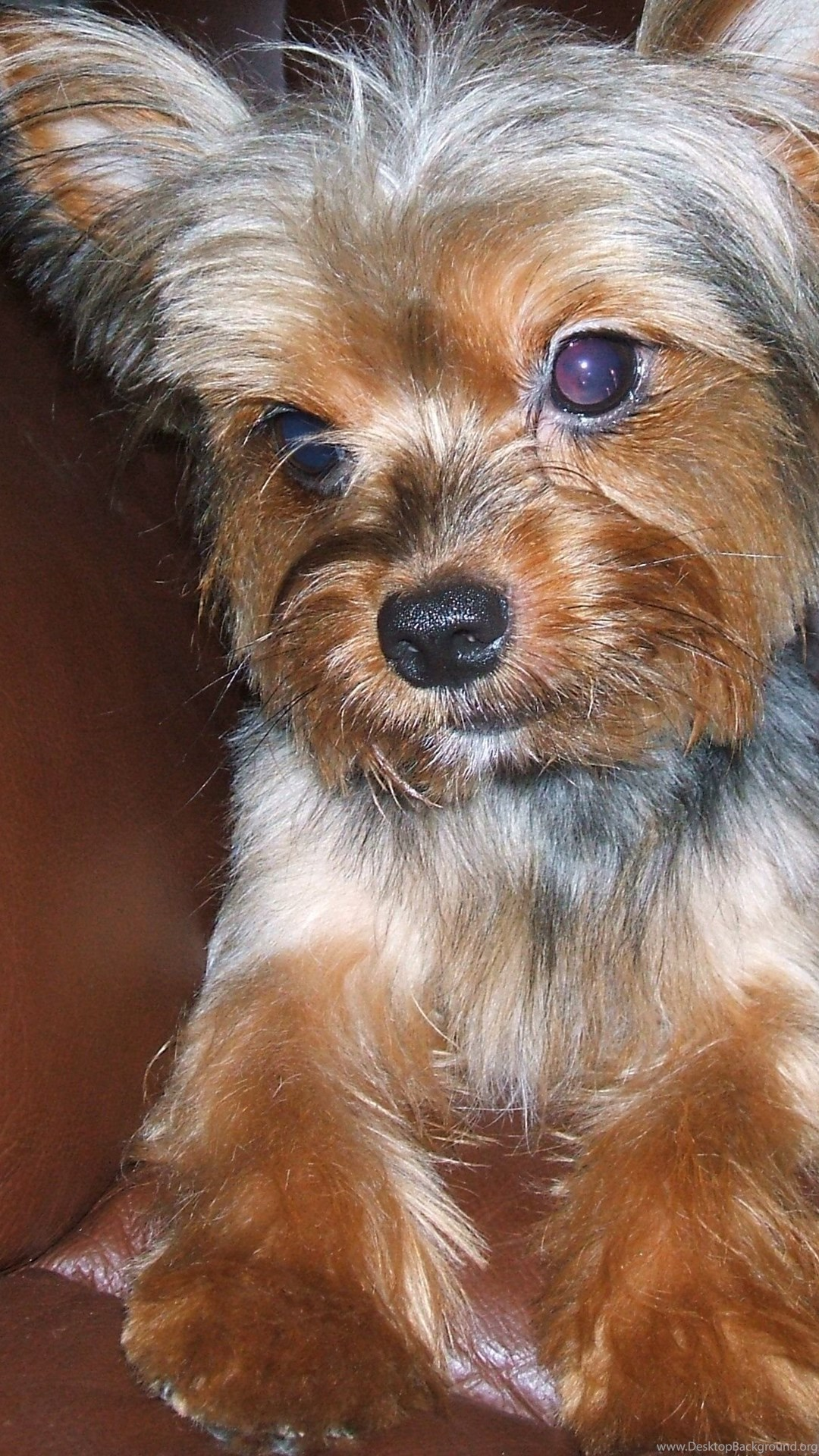 Yorkshire Terrier On The Couch Photo And Wallpaper Beautiful