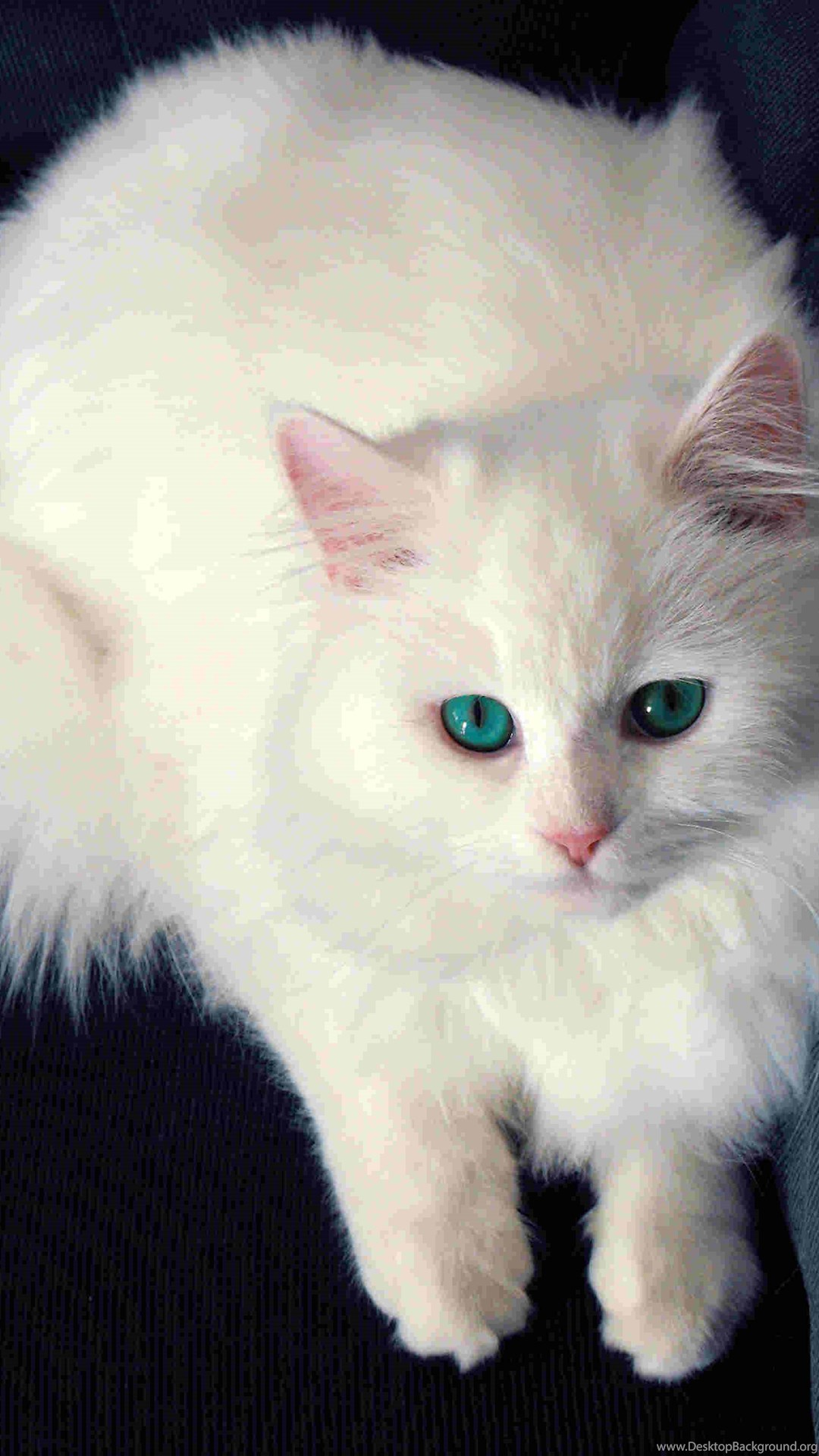 Mobile White Cat Wallpapers Desktop Background