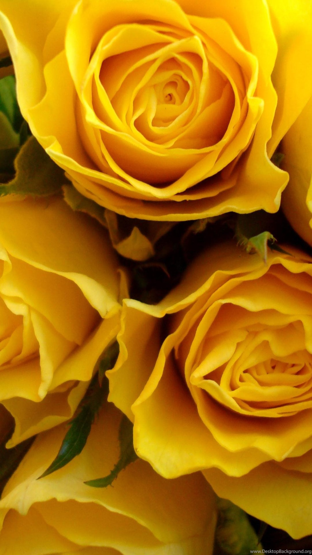 Yellow Rose Wallpapers Wallpapers HD ...