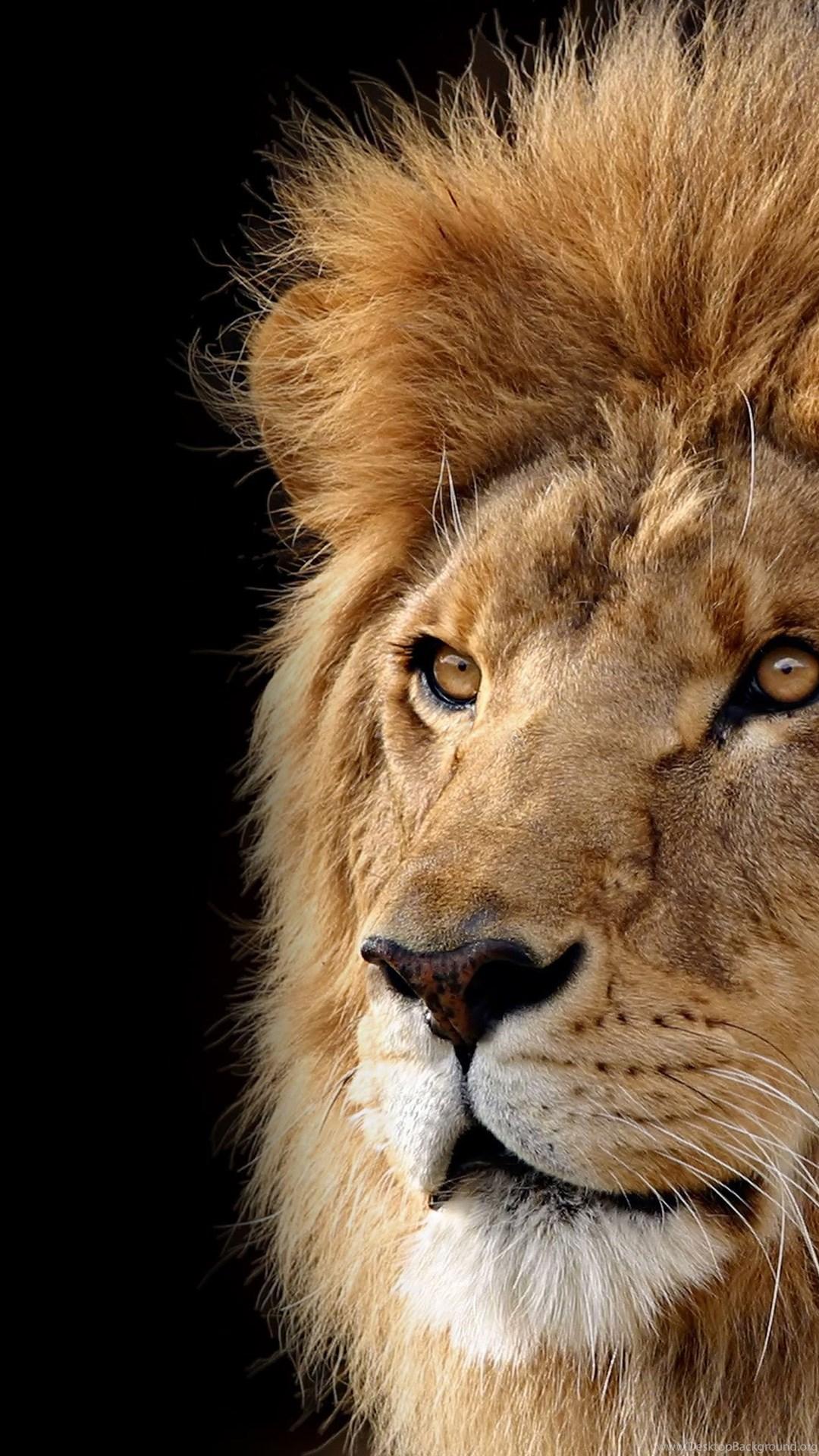 Animal Big Cat Lion Hd Wallpapers Desktop Background