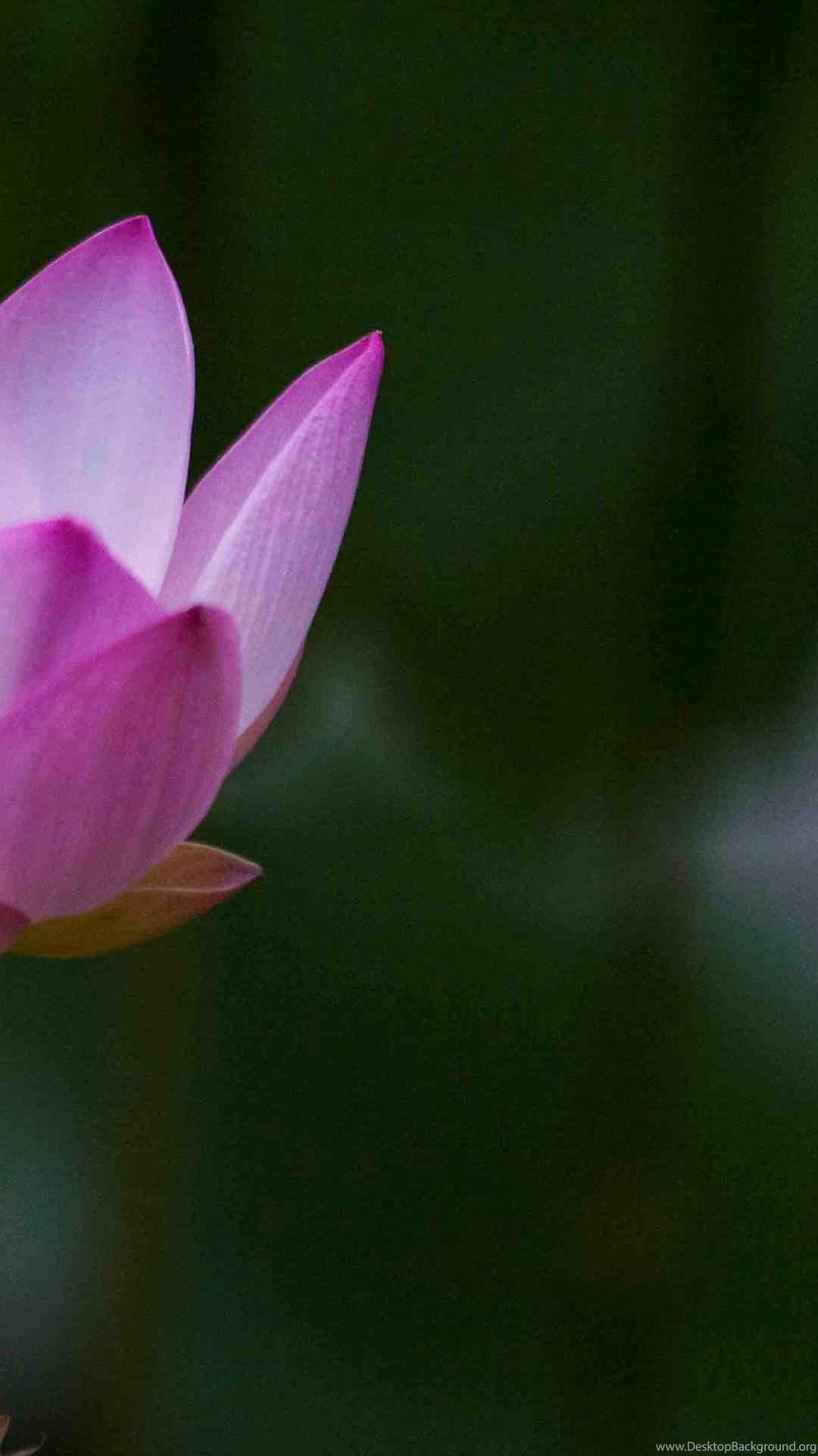 Beautiful Lotus Flowers Wallpapers 89 Lotus Flower Pictures