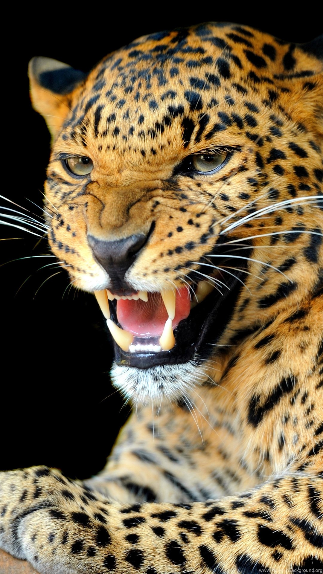 Animals, Jaguars Wallpapers HD / Desktop And Mobile