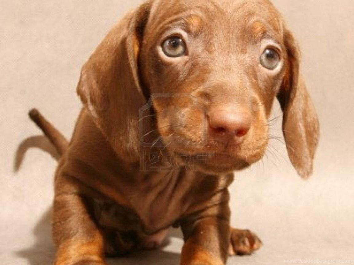 Cute Dachshund Puppy Photo And Wallpaper Beautiful Cute Dachshund Desktop Background