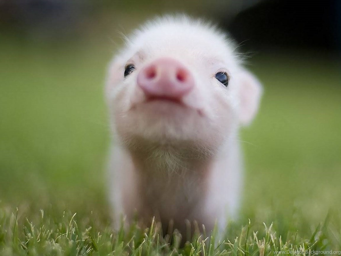 And This Little Piggy Baby Farm Animals Wallpapers Desktop Background