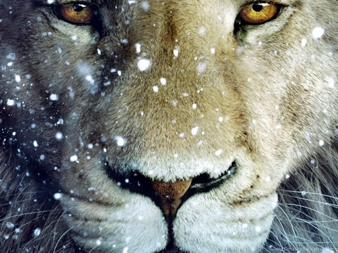 White Lion Wallpapers 31 44 Desktop Background