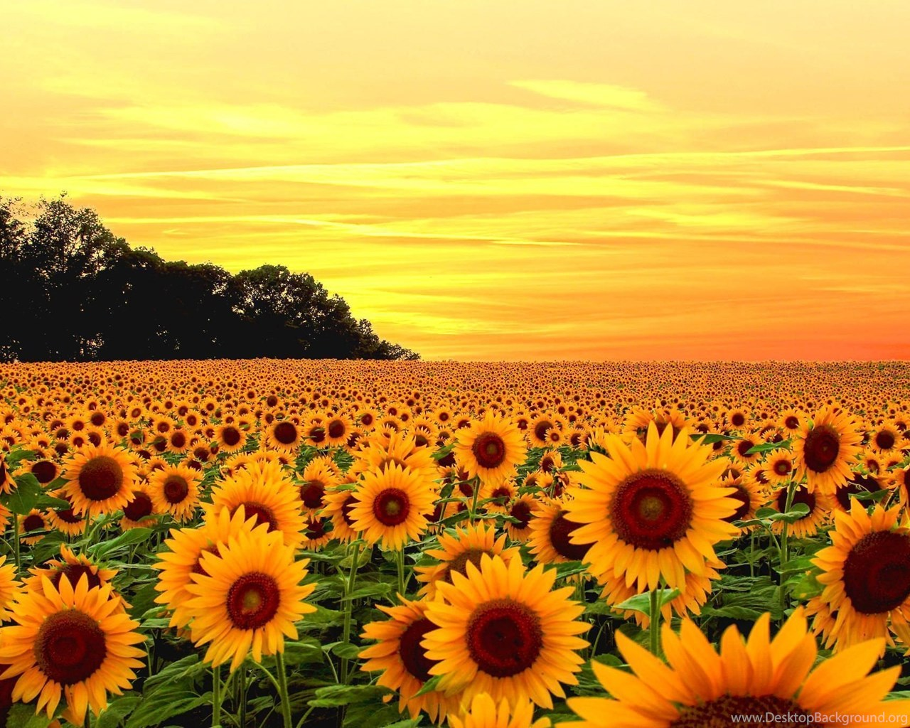 Download Sunflower Wallpaper Backgrounds Desktop Background