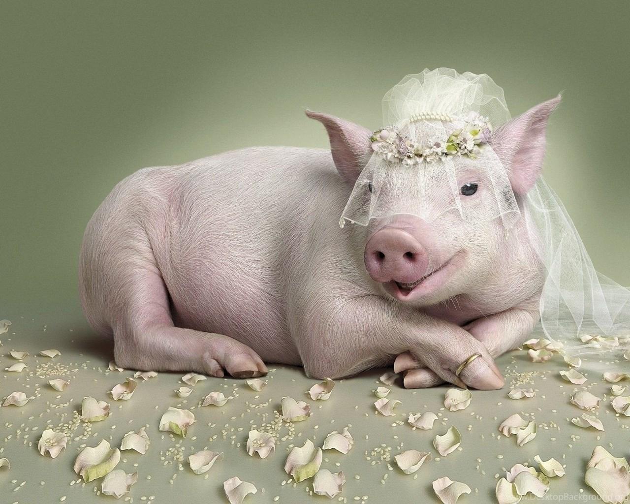 Смешные картинки про свинью на новый год, весь