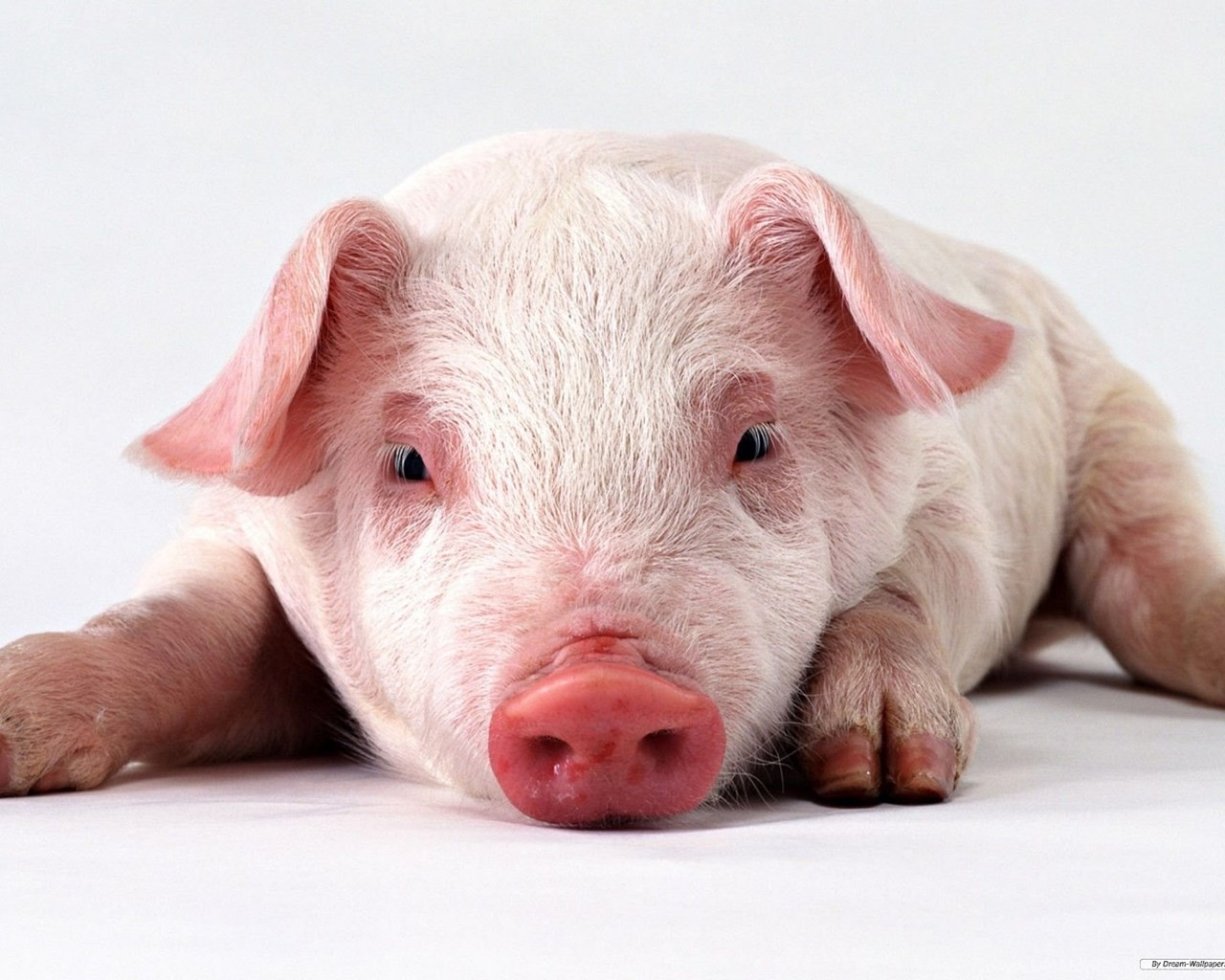 Free Wallpapers Animal Lovely Pig