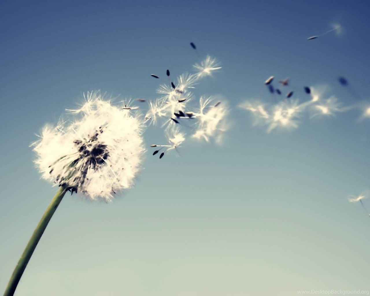 Dandelion wallpapers hd wallpapers page 0 desktop background - Dandelion hd wallpapers 1080p ...