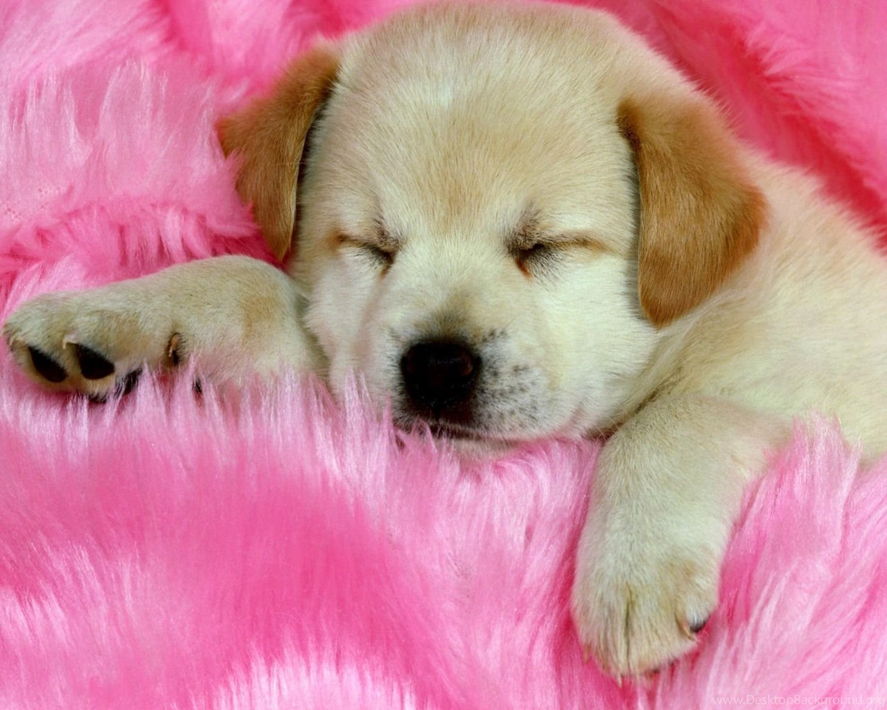 cute baby puppies sleeping wallpaper desktop background