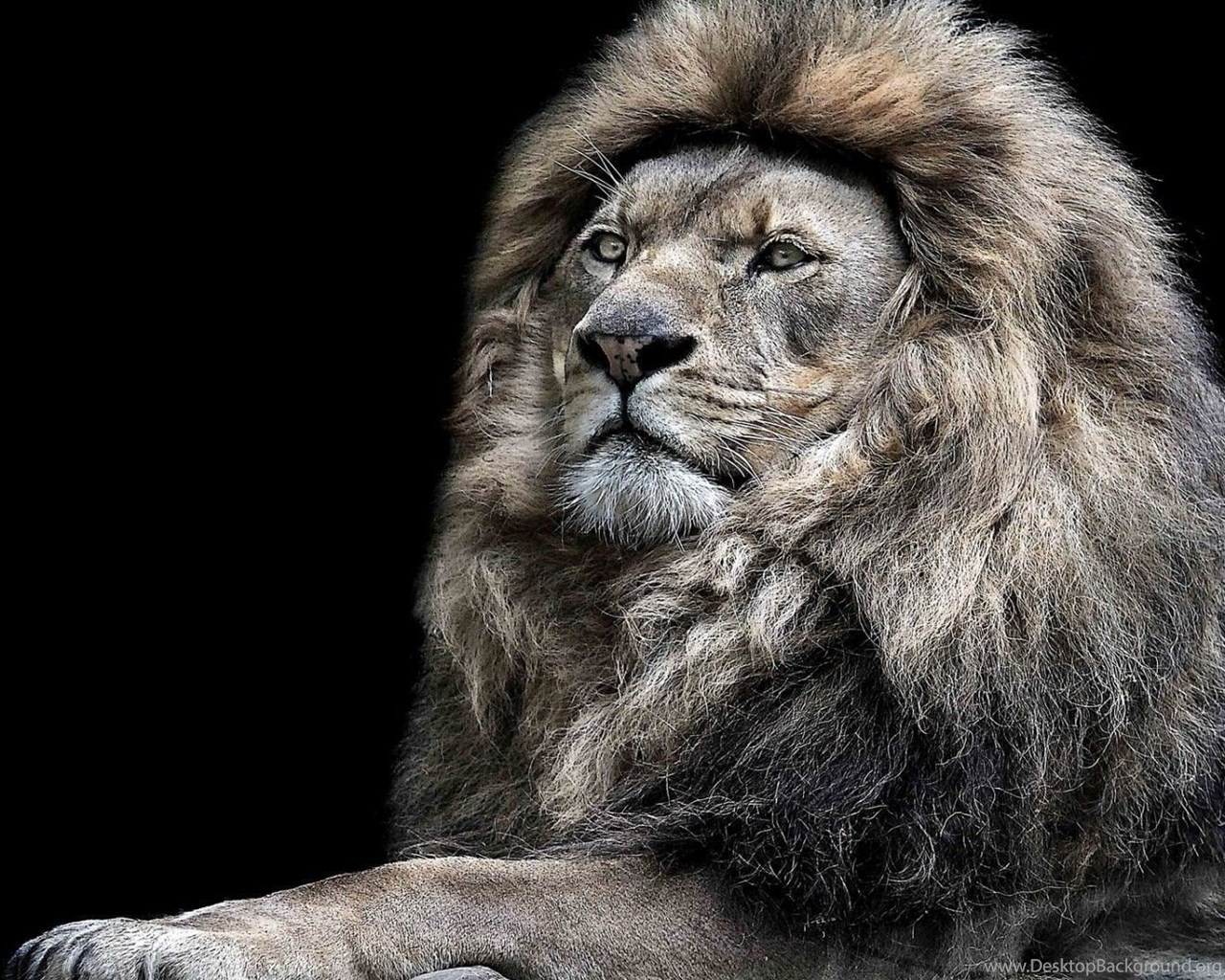 Best 25 Lion Hd Wallpaper Ideas On Pinterest: Top Hd White Lion Wallpaper Images For Pinterest Desktop