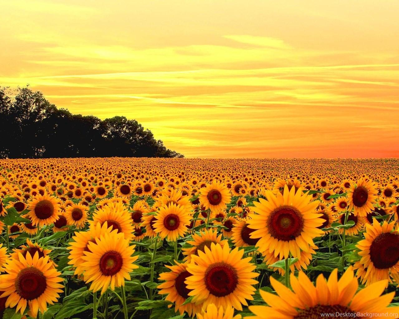 Sunflower Field Wallpapers Full HD ...