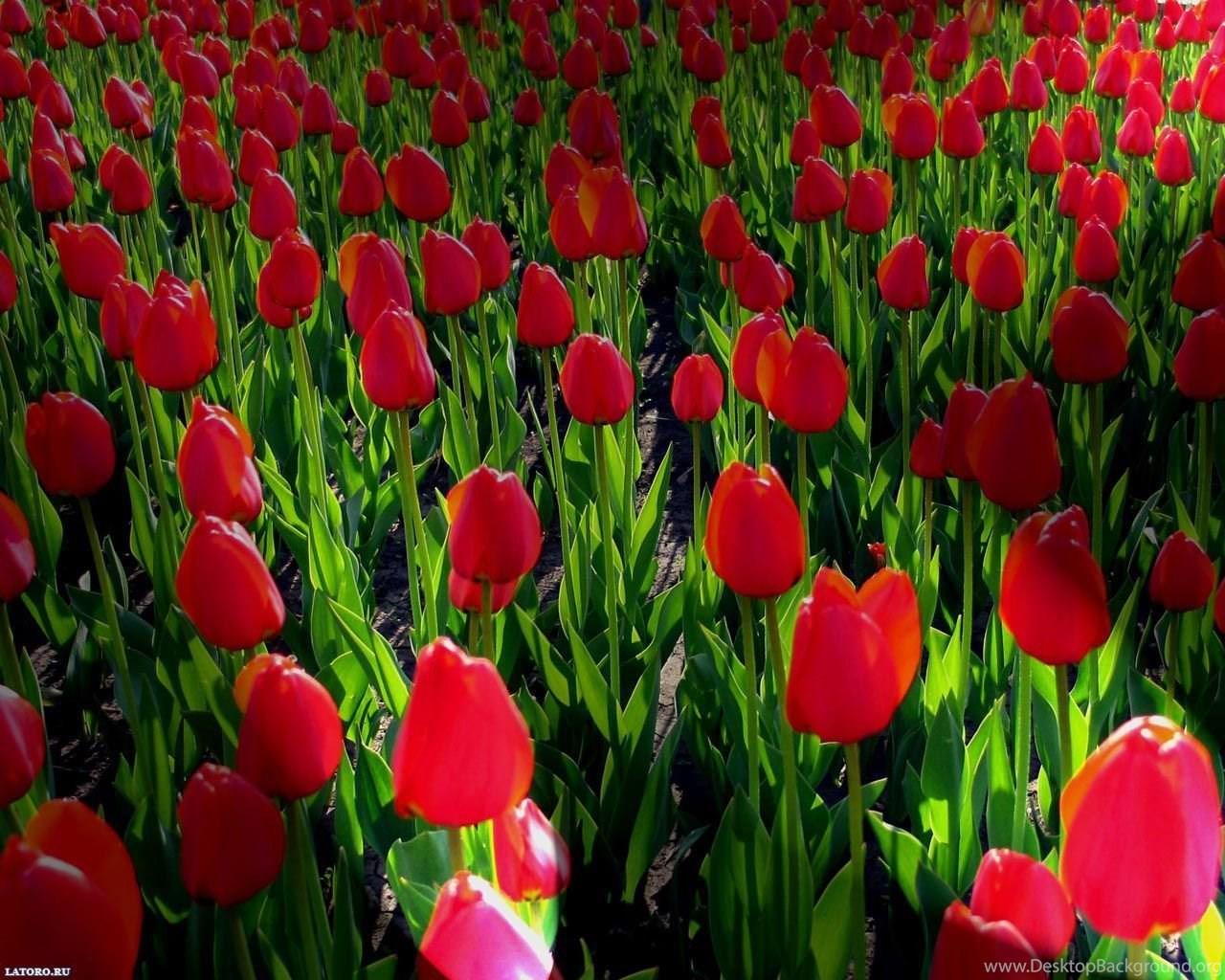 Free desktop wallpaper backgrounds spring flowers desktop background widescreen mightylinksfo