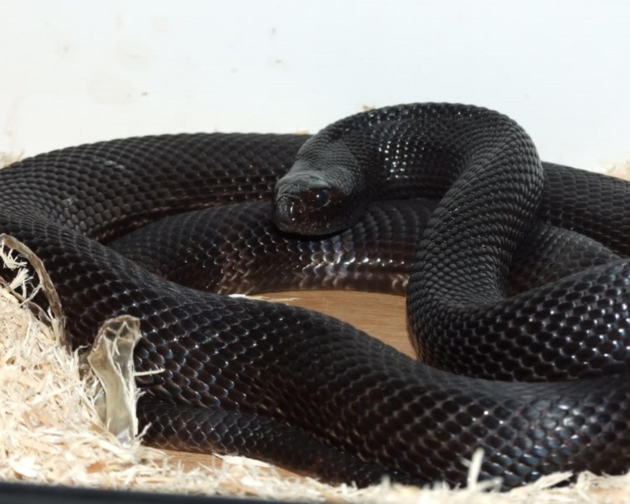 Black Mamba Snake Wallpapers New Wallpapers New Wallpapers Desktop Background