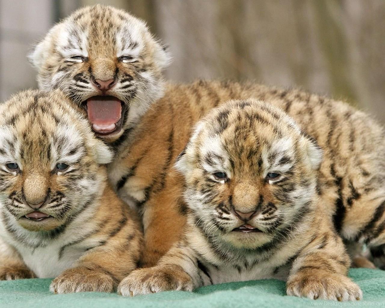 high definition tiger wallpapers for free download desktop background