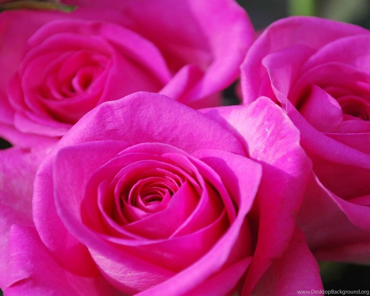 Beautiful pink roses wallpapers flower wallpapers desktop background widescreen izmirmasajfo