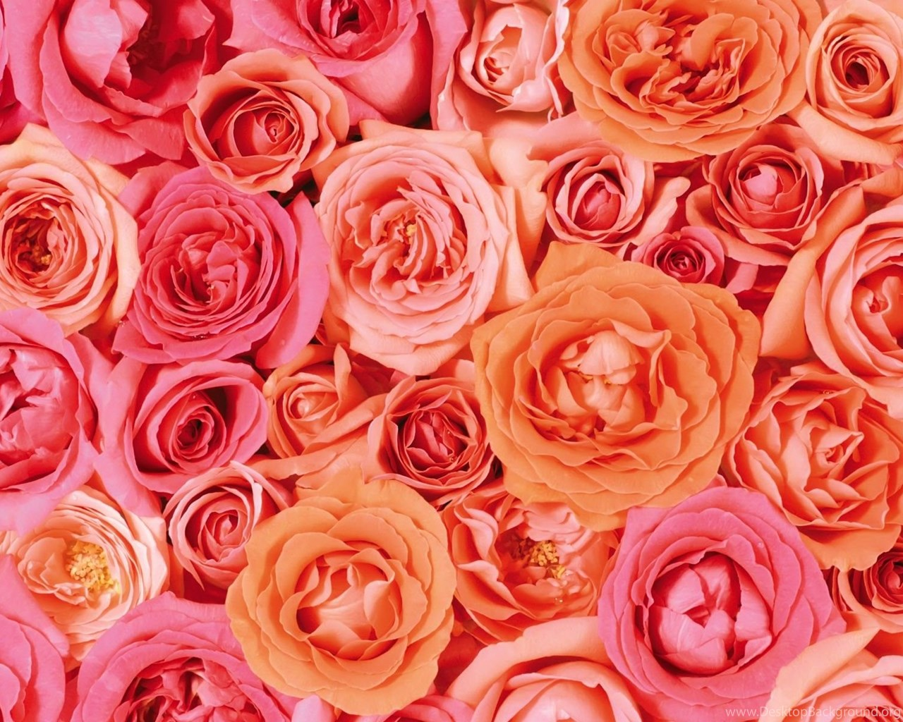 Pink White And Orange Roses Wallpapers Open Walls Desktop Background