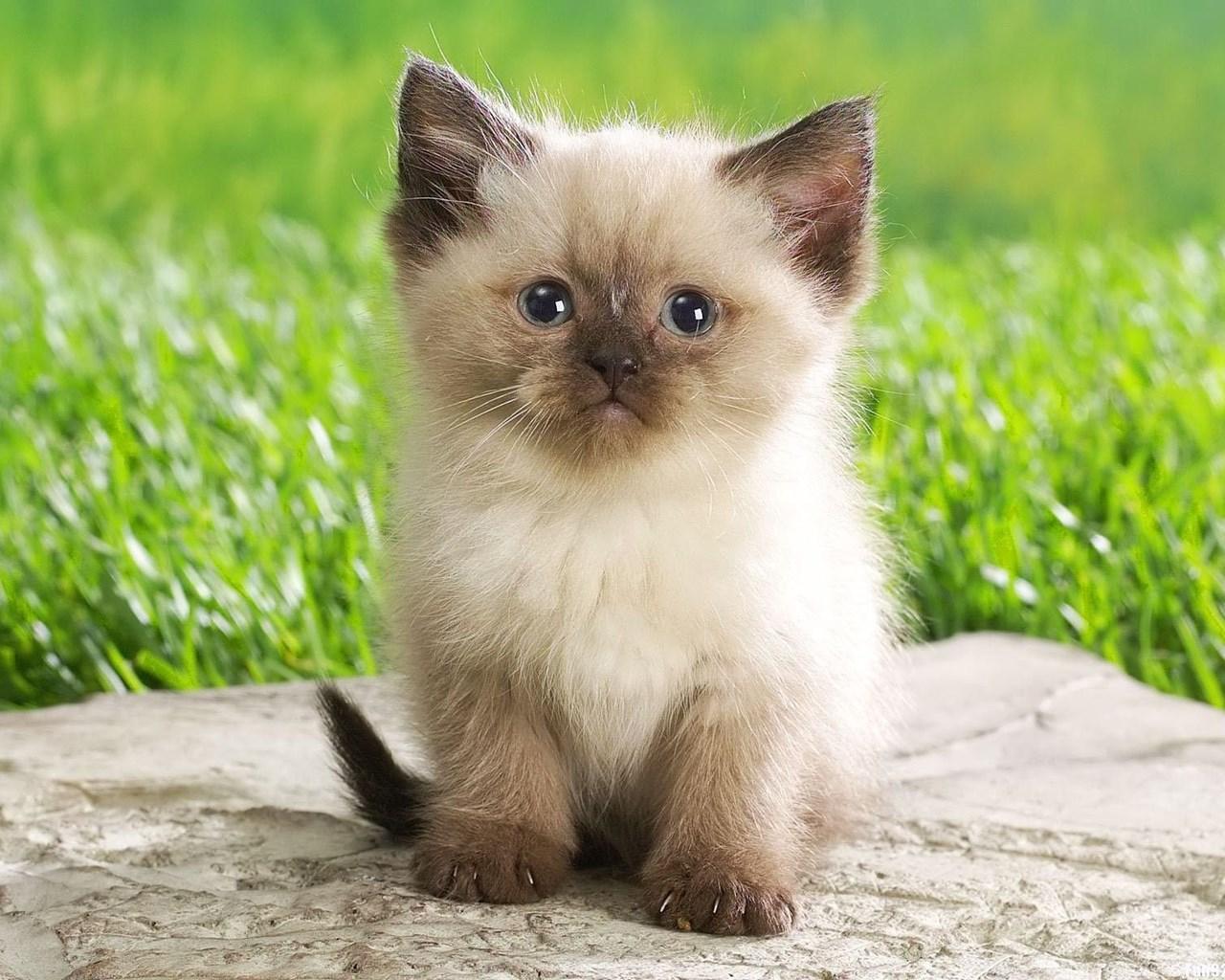 Cute kitten babies pets and small animals wallpaper.jpg Desktop Background