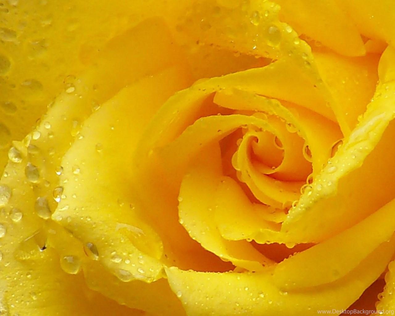 download wallpapers 2048x1152 rose, yellow rose, petals, drops